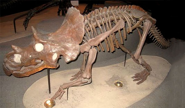 Avaceratops lammers